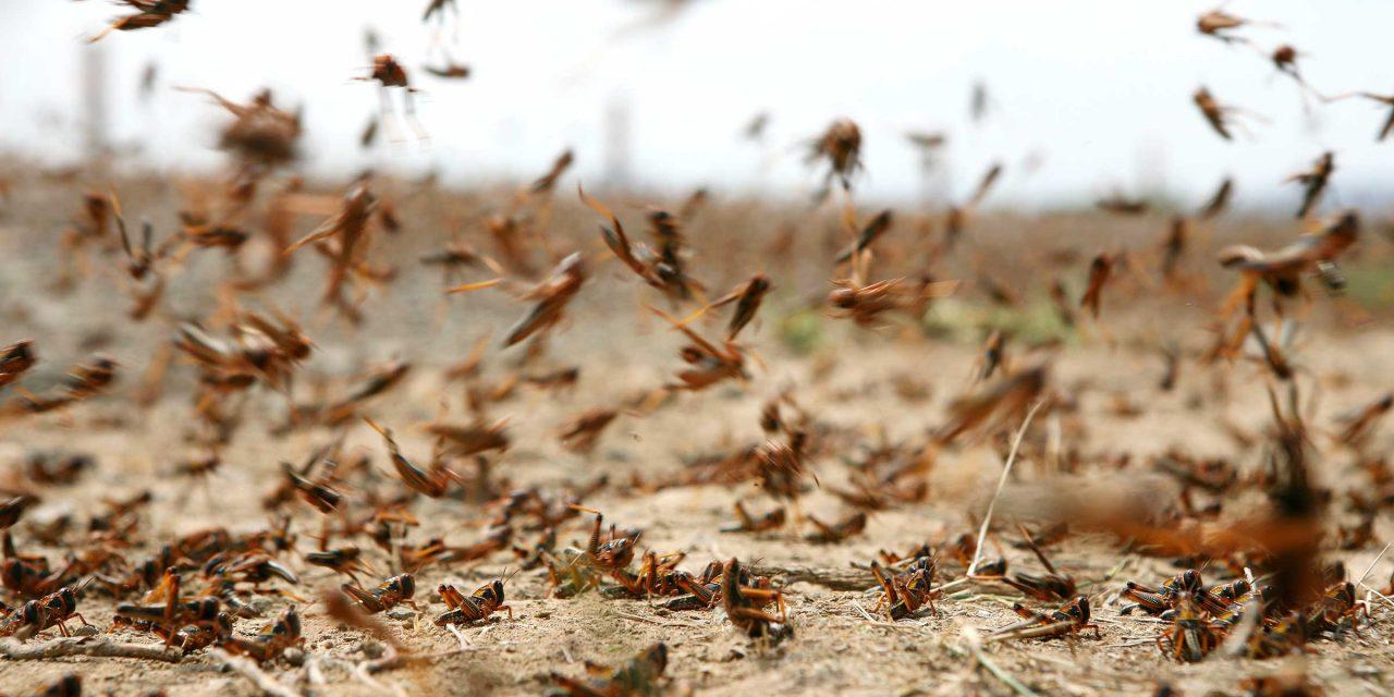 بعد انتشار الحشرات بالحرم.. الجراد يغزو مناطق واسعة بالمملكة