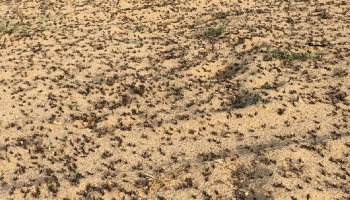 الجراد يغزو السعودية ويهدد المحاصيل الزراعية وسط تخاذل السلطات